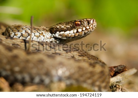 European viper - stock photo