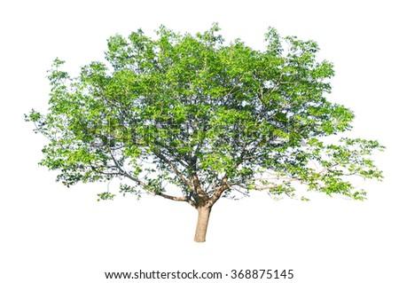 European walnut (Juglans regia) isolated on a white background - stock photo
