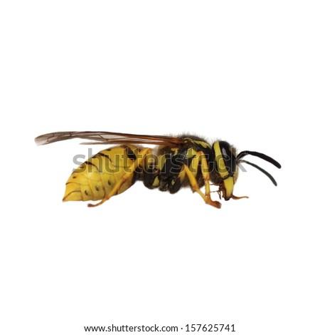European wasp Vespula germanica isolated on white background - stock photo