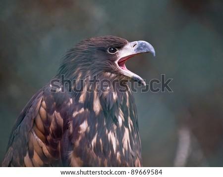 European white tailed eagle is shouting - stock photo