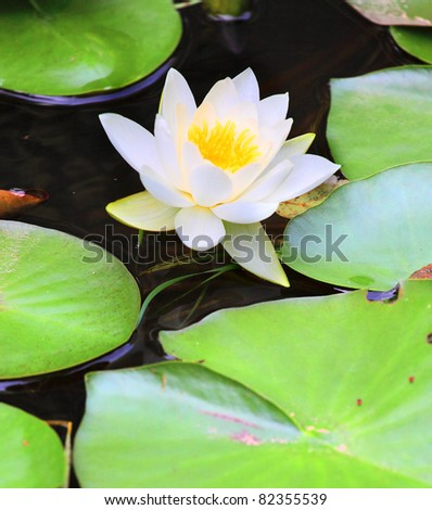 European White Waterlily, White Lotus, or Nenuphar (Nymphaea alba) It contains the active alkaloids nupharine and nymphaeine, and is a sedative and an aphrodisiac. - stock photo