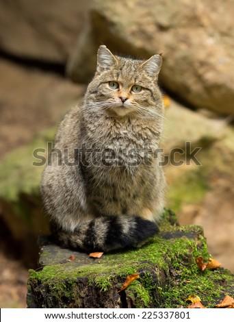 European Wild Cat (Felis silvestris) sitting on a rock. - stock photo