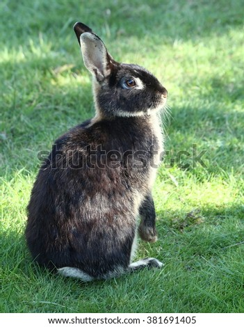 European wild rabbit (Oryctolagus cuniculus) rearing up on hind legs.