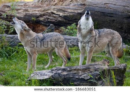 European wolf, [Canis lupus] - stock photo