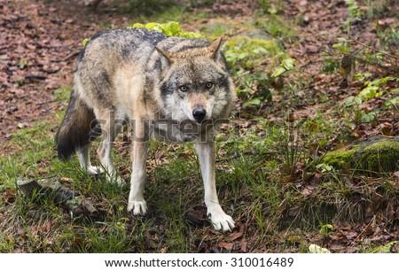European wolf, Europaeischer Wolf, Canis lupus, wolf, CZECH REPUBLIC. - stock photo