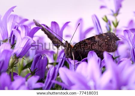 Europen Peacock butterfly sitting on violet Bellflowers - stock photo