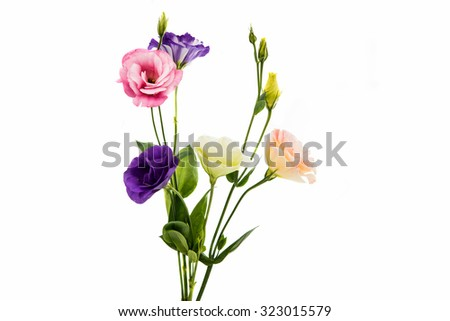 eustoma flower on a white background - stock photo