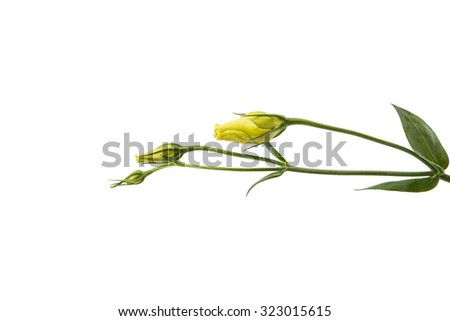 eustoma flower on a white background