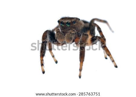 Evarcha falcata jumping spider isolated on white. - stock photo
