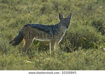 Even though Jackals are nocturnal, many are found in Daytime - stock photo