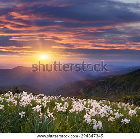 Evening landscape with flowers. Blooming daffodils in the mountains. The setting sun. Carpathian Mountains, Ukraine - stock photo
