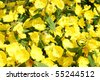 evening primrose background - stock photo
