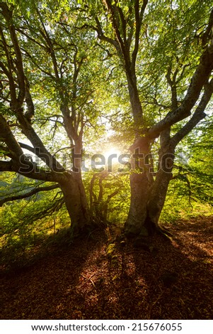 Evening sun shines through the leaves of a tree. - stock photo