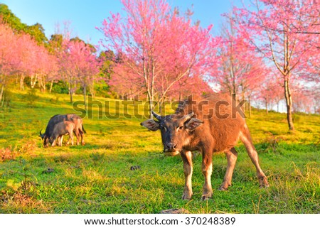 Evening sunset branch with pink sakura blossoms and buffalo in Phu Lom Lo,Loei, Thailand