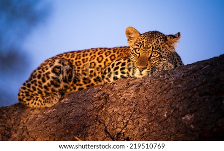 Evening twilight covers the sky in wonderful hues of blues, as a young Leopard cub rests up on a fallen tree.  - stock photo