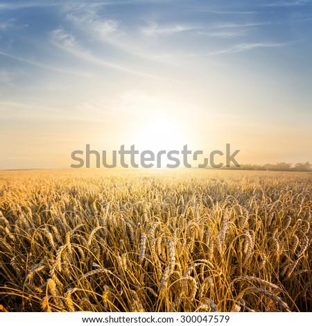 evening wheat field scene - stock photo