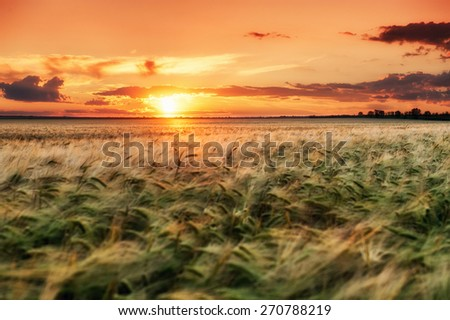 evening wheat field. summer landscape - stock photo