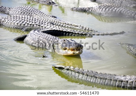 everglades alligator - stock photo