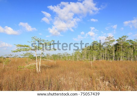 Everglades summer Landscape with a dwarf Cypress tree in the foreground and a cypress head in the background on the edge of a slough (river) - stock photo