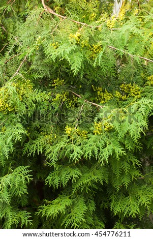 Evergreen arborvitae, natural background, background, abstract, natural,