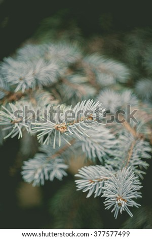 Evergreen blue spruce branch on the nature soft focus background