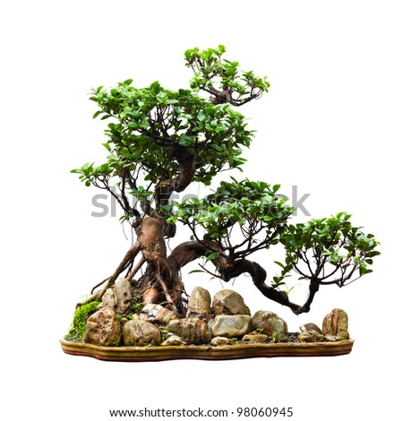 Evergreen bonsai on white - stock photo