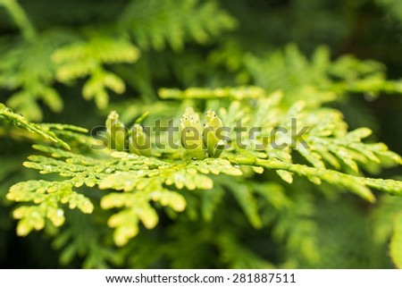 Evergreen branch of a thuja with buds  - stock photo