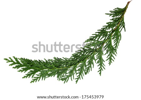 Evergreen cedar cypress pine leaf isolated on white - stock photo
