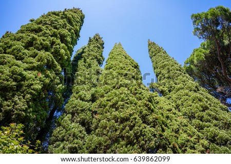 Evergreen Cypresses (Cupressus sempervirens Pyramidalis) and a pine, perspective view