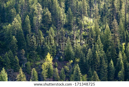 Evergreen Forest Background - stock photo