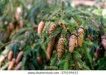 Evergreen forest. Branch with brown pinecones. - stock photo