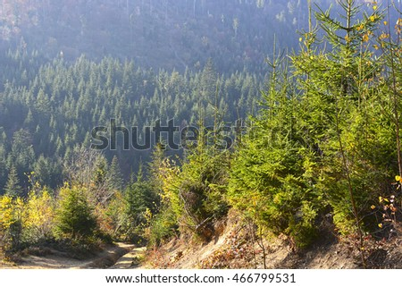 Evergreen forest in Carpathian Mountains, Ukraine. Travel, ecotourism, natural autumn background