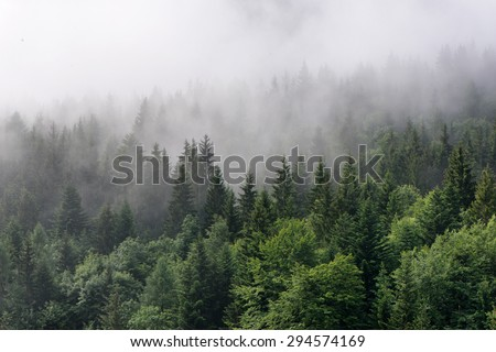 Evergreen Forest Overview - Tops of Tall Green Trees with Dense Fog Rolling In Over Lush Wilderness - stock photo