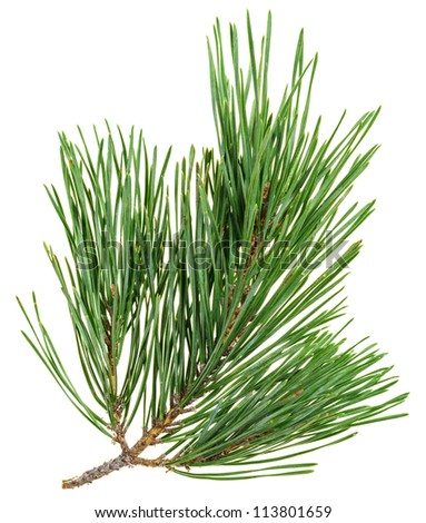 Evergreen pine twig isolated on white, closeup view - stock photo