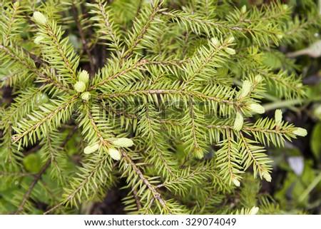 Evergreen tree (fir-tree) - stock photo