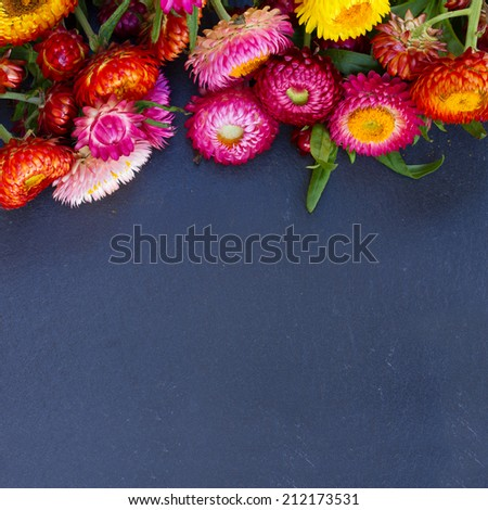 Everlasting flowers border on black stone with copy space - stock photo