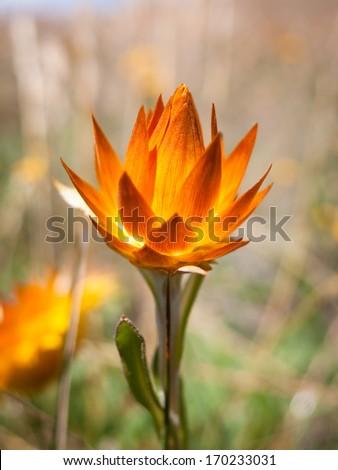 Everlasting (paper) daisy in the Australian alpine region - stock photo
