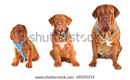 Evolution. Group of the dogs of different size/ age wearing different dog's accessories (collar, chain, harness) - stock photo