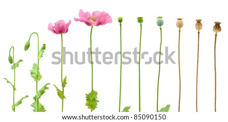 Evolution of Opium poppy isolated on white background