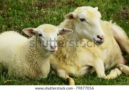 Ewe and half-grown lamb, sheep on family farm, Webster County, West Virginia, USA.  Sheep breed is Katahdin and Barbados Blackbelly mix. - stock photo