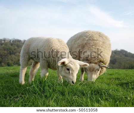 Ewe and Lamb Grazing in a Green Meadow - stock photo