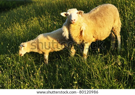 Ewe and lamb, Grazing sheep in Evening Light, family farm, Webster County, West Virginia, USA - stock photo