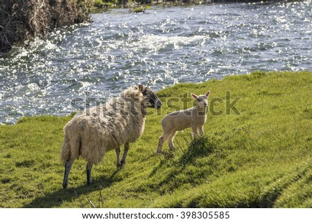 Ewe and lamb on the bank of a fast flowing river - stock photo