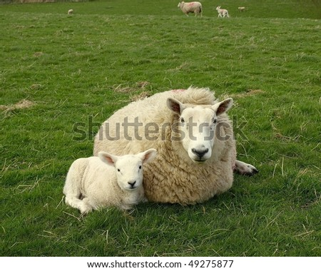 Ewe and Lamb Resting in a Green Meadow - stock photo