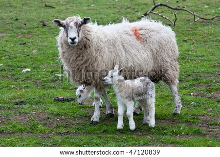 Ewe with her Twin lambs staring in english field early springtime. - stock photo