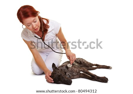 Examination of dog at female veterinarian with stethoscope