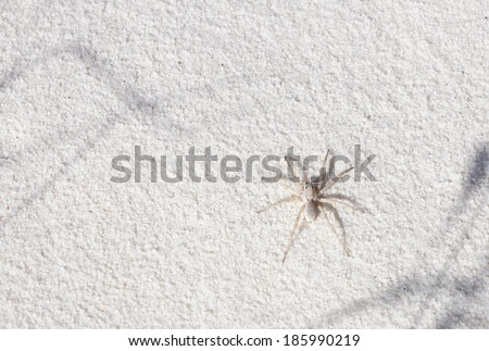 Example of mimicry: white spider-wolf gypsum sand in the national park. White Sands, New Mexico, USA