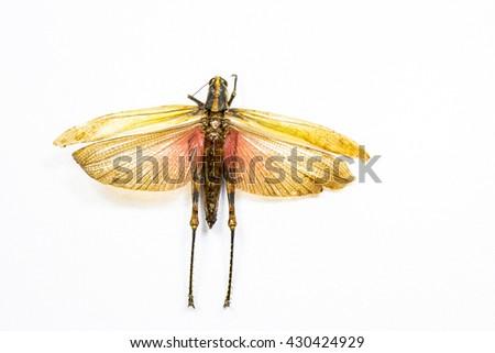 Examples locusts in Laboratory - stock photo
