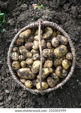 excavate crop of potatoes - stock photo
