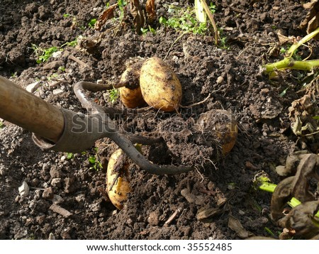 excavate crop of potatoes, harvesting - stock photo